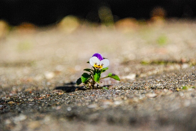 pansy in pavement